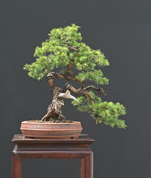 Bonsai Photo of the Day 10-9-2018