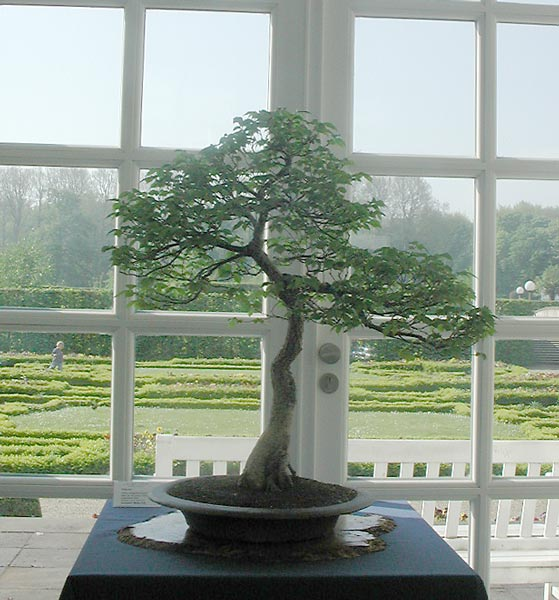 Bonsai Photo of the Day 11-13-2018