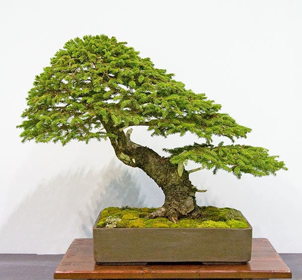 Bonsai Photo of the Day 11-14-2018