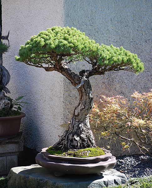 Bonsai Photo of the Day 11-8-2018