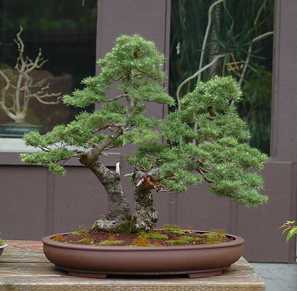 Bonsai Photo of the Day 11-9-2018