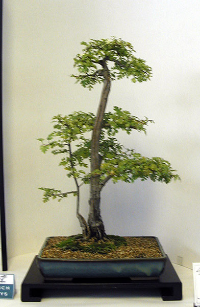 Bonsai Photo of the Day 11-15-2018
