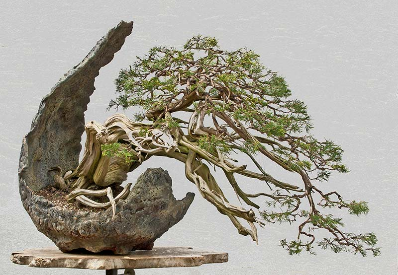 Bonsai Photo of the Day 11-20-2018