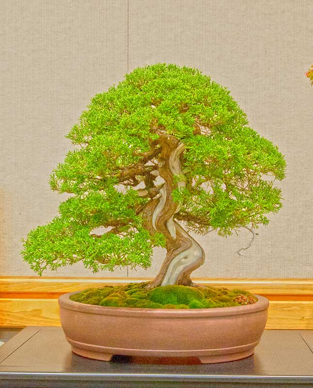 Bonsai Photo of the Day 11-23-2018