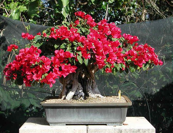 Bonsai Photo of the Day 11-28-2018