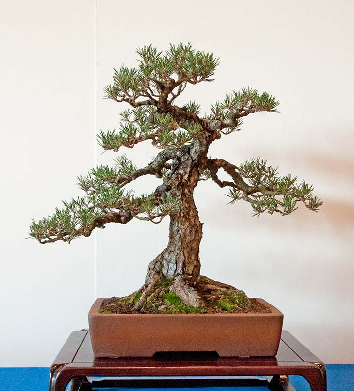 Bonsai Photo of the Day 12-12-2018