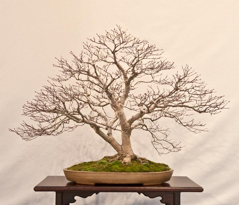 Bonsai Photo of the Day 12-18-2018