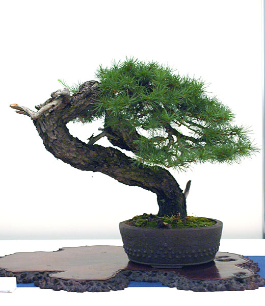 Bonsai Photo of the Day 12-21-2018