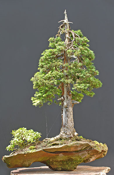 Bonsai Photo of the Day 1-1-2019