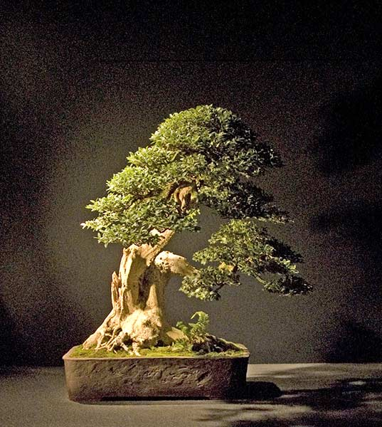 Bonsai Photo of the Day 1-11-2019