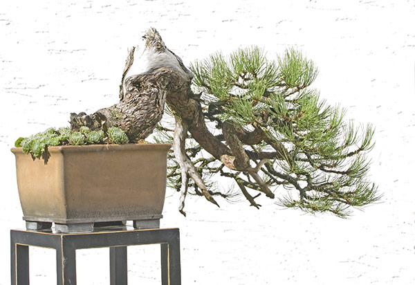 Bonsai Pic of the Day 1-14-2019