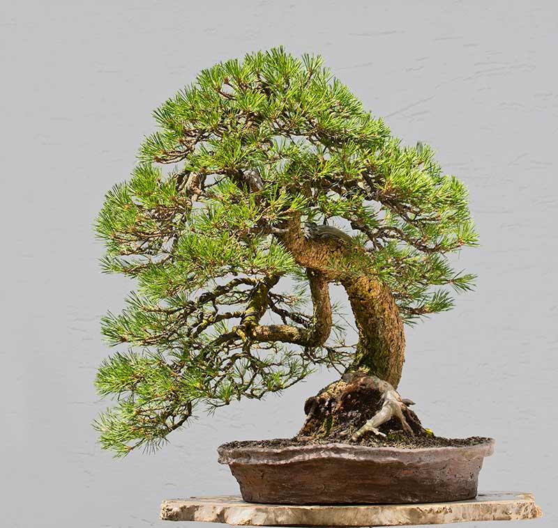 Bonsai Photo of the Day 1-17-2019