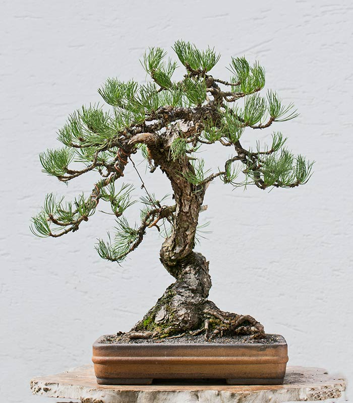 Bonsai Photo of the Day 1-23-2019