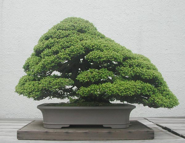 Bonsai Photo of the Day 1-24-2019