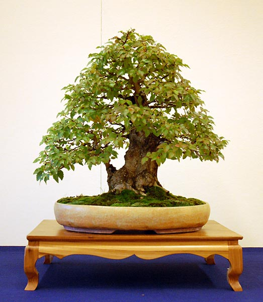 Bonsai Photo of the Day 1-25-2019