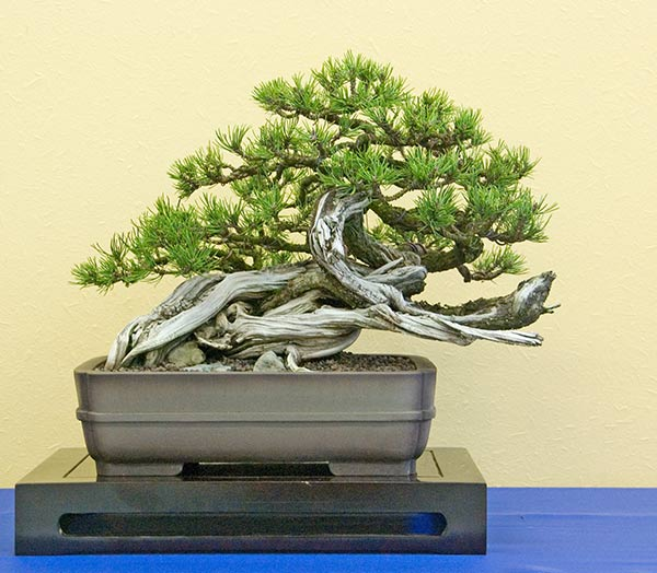 Bonsai Photo of the Day 1-30-2019