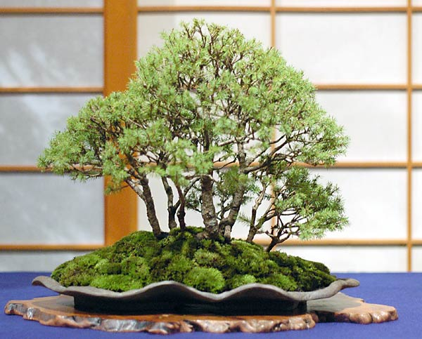 Bonsai Photo of the Day 1-31-2019