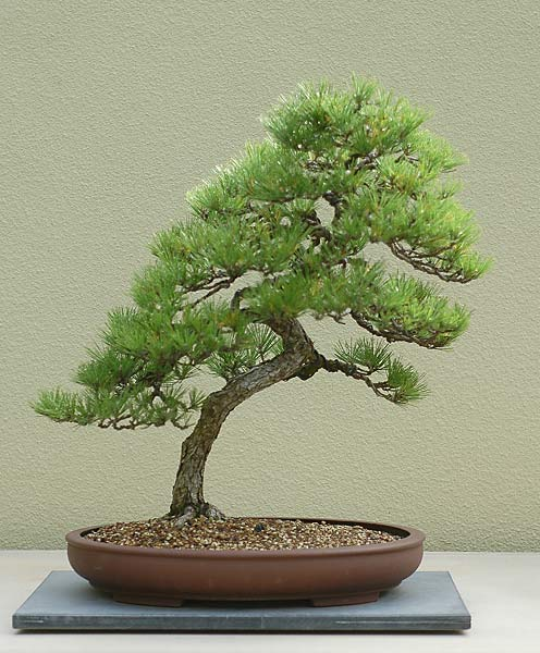 Bonsai Photo of the Day 2-1-2019