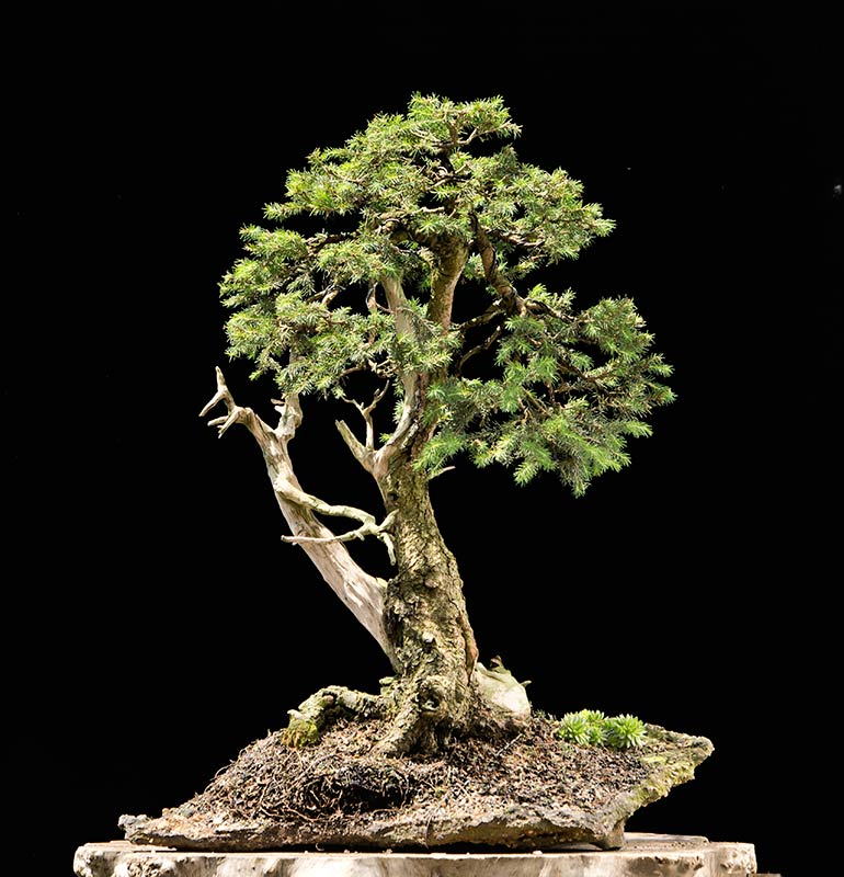 Bonsai Photo of the Day 2-11-2019