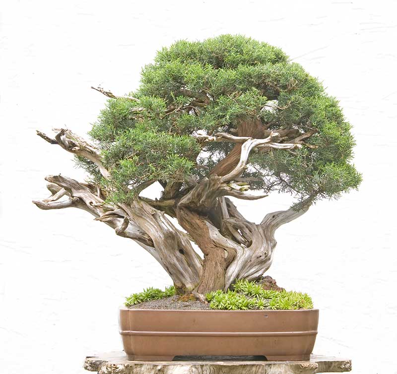 Bonsai Photo of the Day 2-14-2019