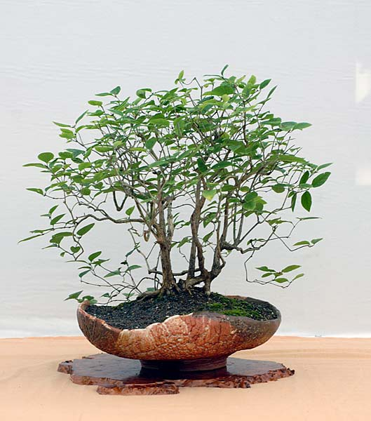 Bonsai Photo of the Day 2-15-2019