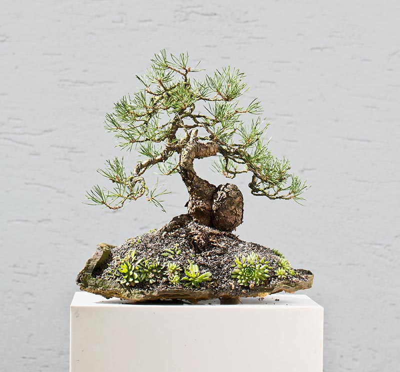 Bonsai Photo of the Day 2-19-2019