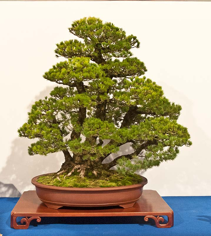 Bonsai Photo of the Day 2-20-2019