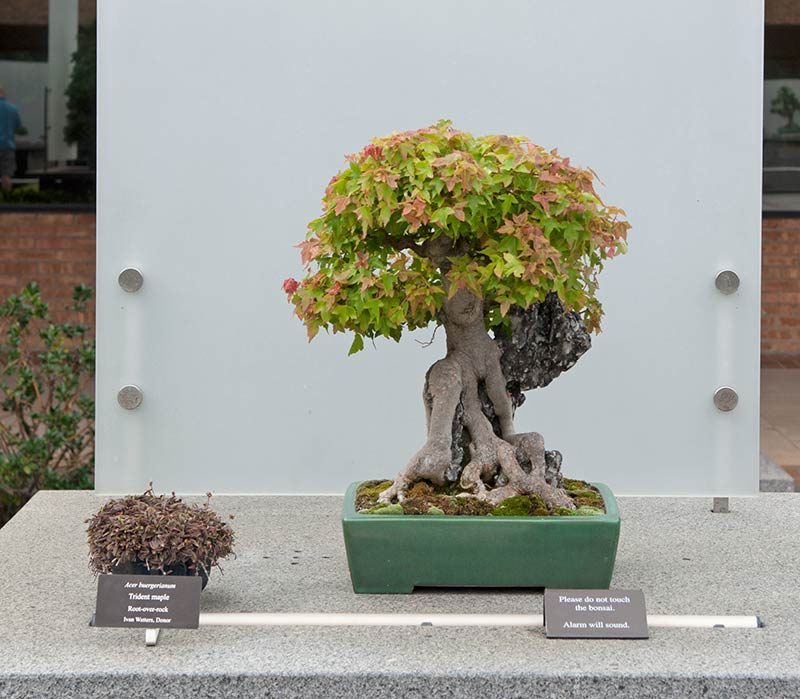 Bonsai Photo of the Day 2-21-2019