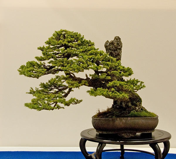 Bonsai Photo of the Day 2-22-2019