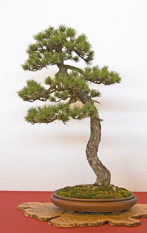 Bonsai Photo of the Day 2-25-2019