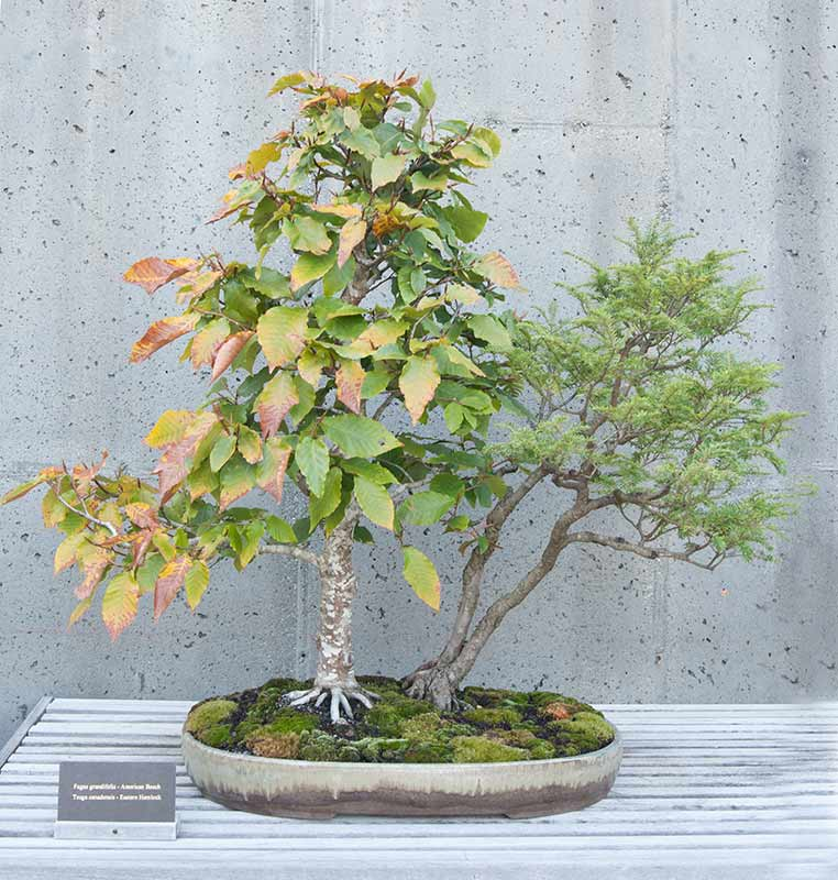 Bonsai Photo of the Day 2-26-2019