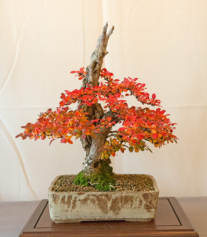 Bonsai Photo of the Day 2-27-2019