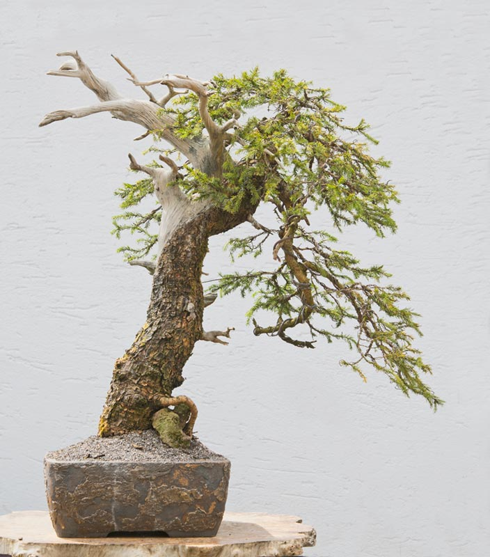 Bonsai Photo of the Day 2-5-2019
