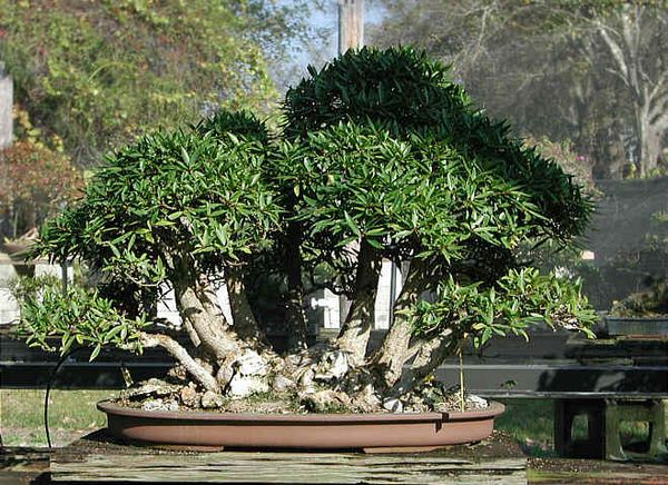 Bonsai Photo of the Day 2-6-2019