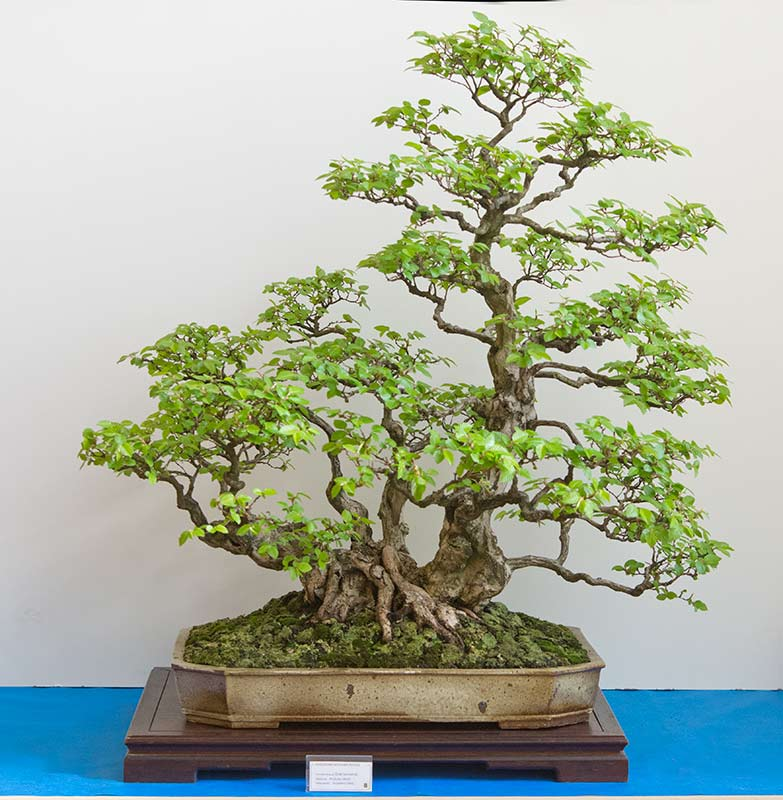 Bonsai Photo of the Day 2-8-2019