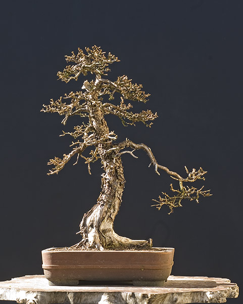 Bonsai Photo of the Day 3-12-2019