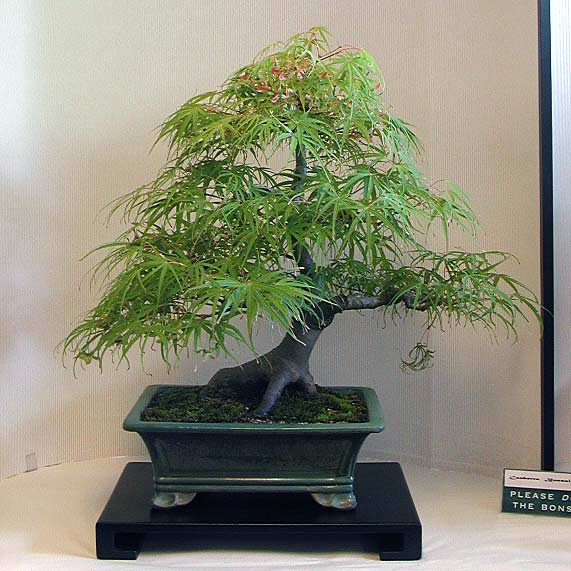 Bonsai Photo of the Day 3-13-2019