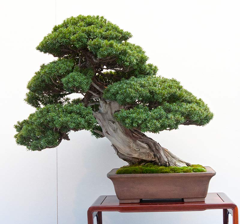 Bonsai Photo of the Day 3-15-2019