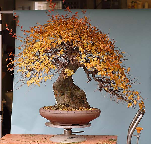 Bonsai Photo of the Day 3-18-2019