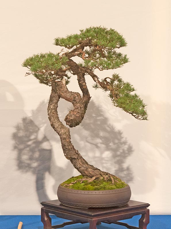Bonsai Photo of the Day 3-19-2019