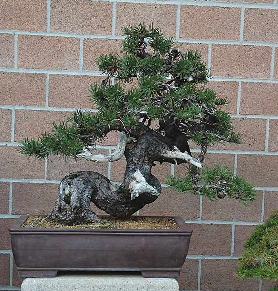 Bonsai Photo of the Day 3-21-2019