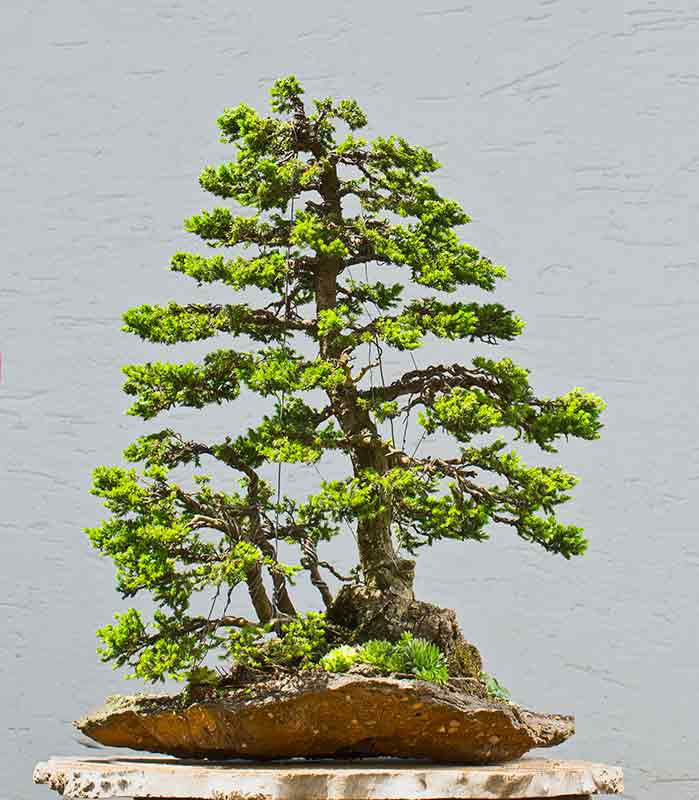 Bonsai Photo of the Day 3-22-2019