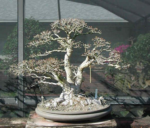 Bonsai Photo of the Day 3-25-2019