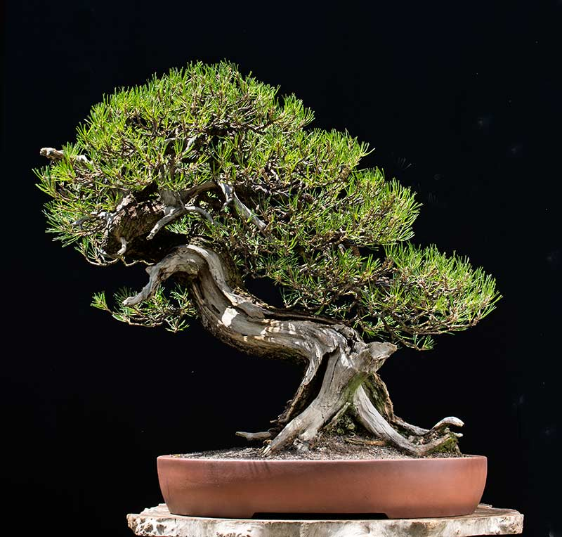 Bonsai Photo of the Day 3-29-2019