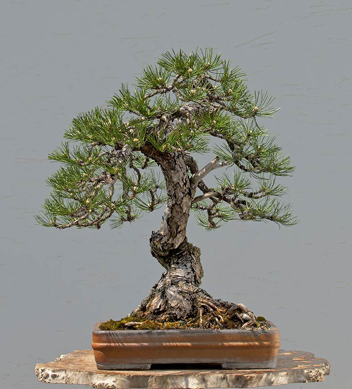 Bonsai Photo of the Day 3-7-2019
