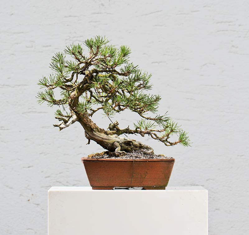 Bonsai Photo of the Day 3-8-2018