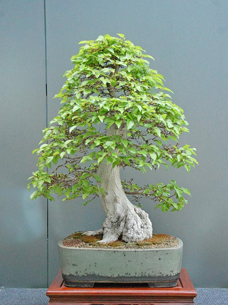 Bonsai Photo of the Day 4-1-2019