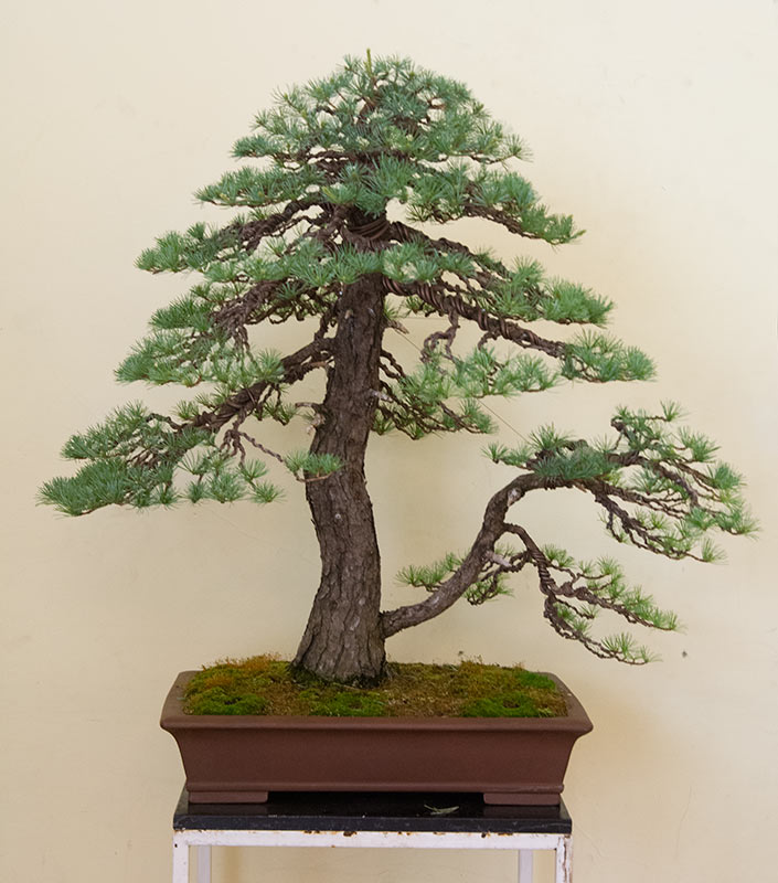 Bonsai Photo of the Day 4-15-2019