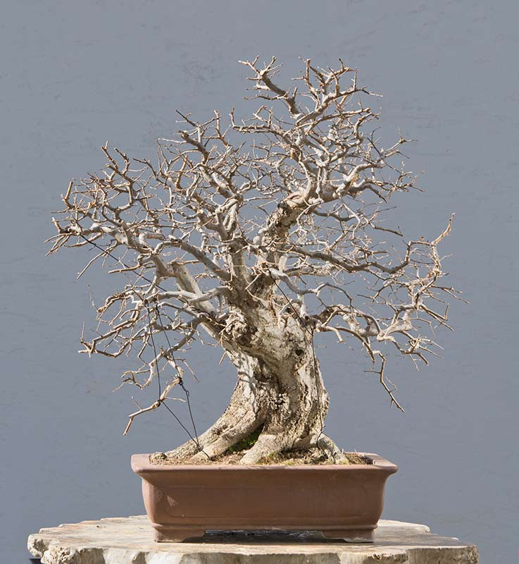 Bonsai Photo of the Day 4-16-2019