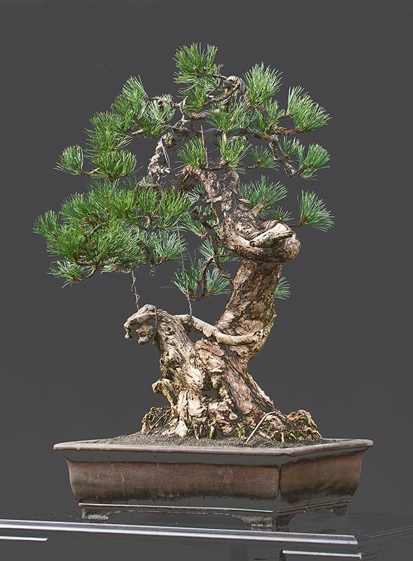 Bonsai Photo of the Day 4-25-2019
